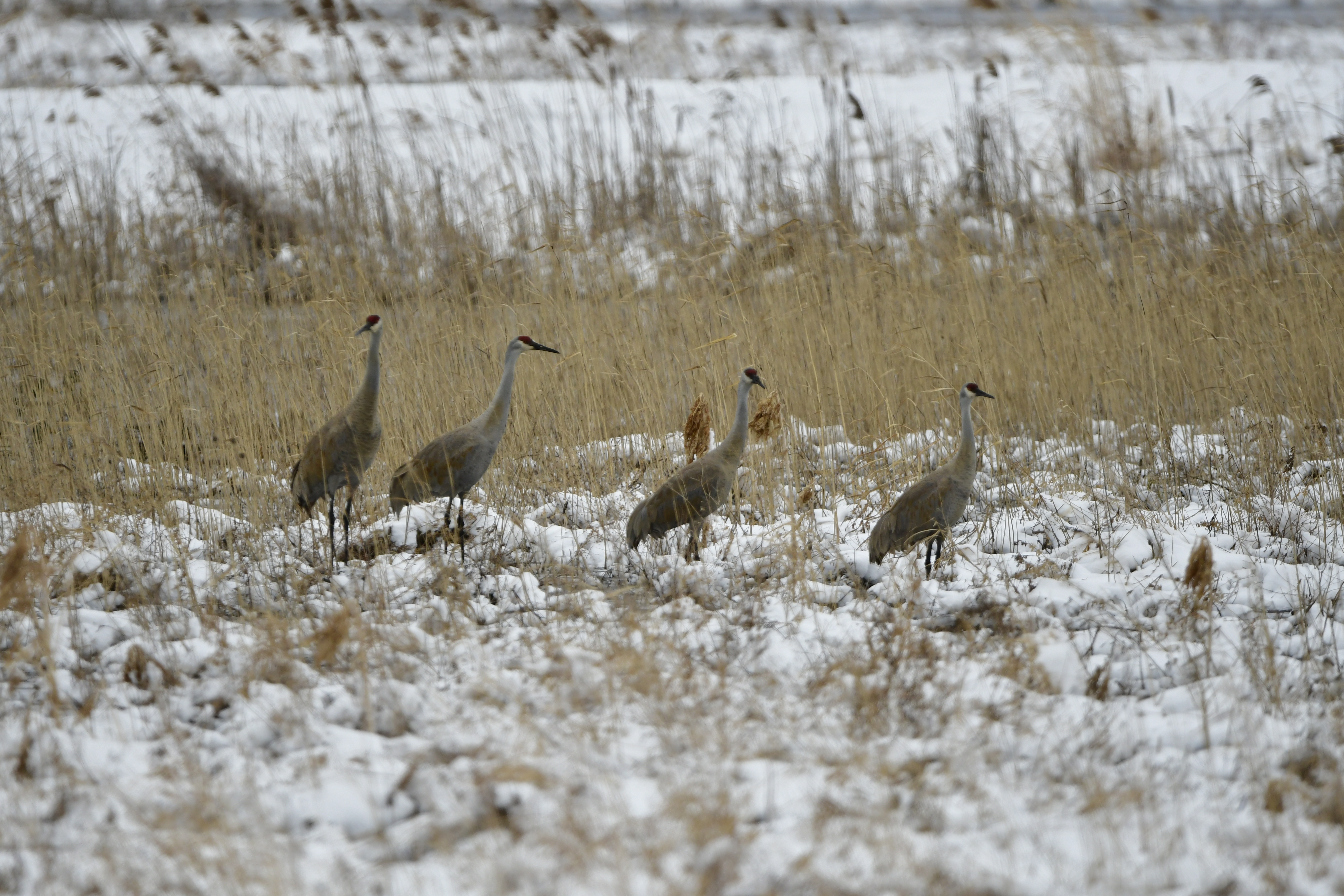 Sandhill cranes returning to the FLX (photo)